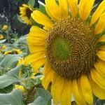 Kebun Bunga Matahari, Lokasi Foto Instagram Cantik di Kediri