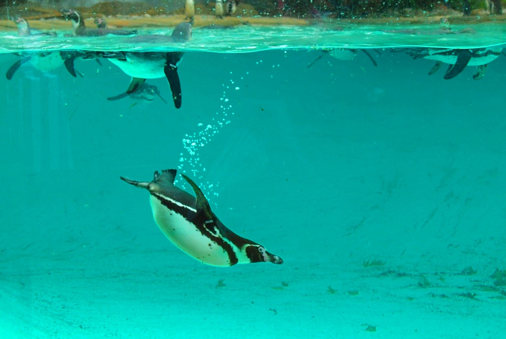 Penguin Kebun Binatang Gembira Loka Yogyakarta