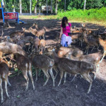 Penangkaran Rusa Maliran Blitar, Wisata Keluarga Murah Meriah Bermain Asyik dengan Para Rusa