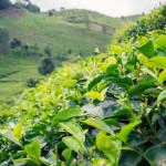 Perkebunan Teh Sirah Kencong, Pilihan Wisata Keluarga yang Asyik dan Menyenangkan di Blitar